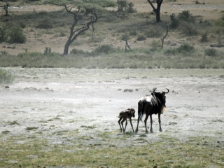 Wildebeest birth8